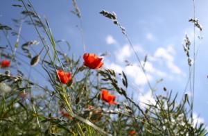 Blütenpollen bedrohen Allergiker und Asthmatiker besonders stark
